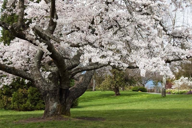 McNally Travel Blog | Springtime in Canada | Cherry Blossom in Vancouver